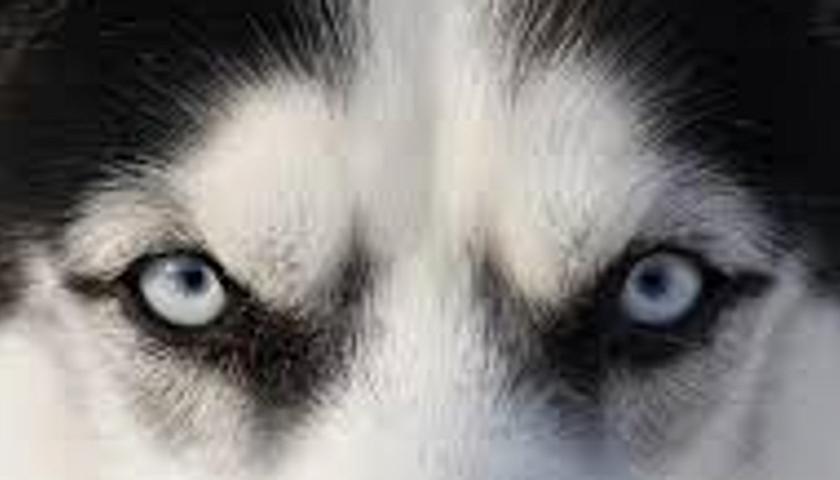 Der husky