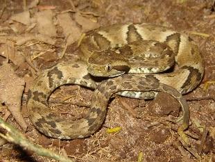Brasile, bimbo di 17 mesi uccide con un morso un serpente velenosissimo