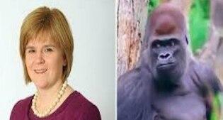 Gaffe della BBC: al posto del premier scozzese Nicola Sturgeon un gorilla fuggito dallo zoo
