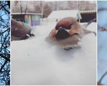 L'appello degli ornitologi: salvate i beccofrusoni ubriachi