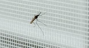 il parassita più comune della malaria