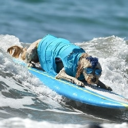 surf cani animali