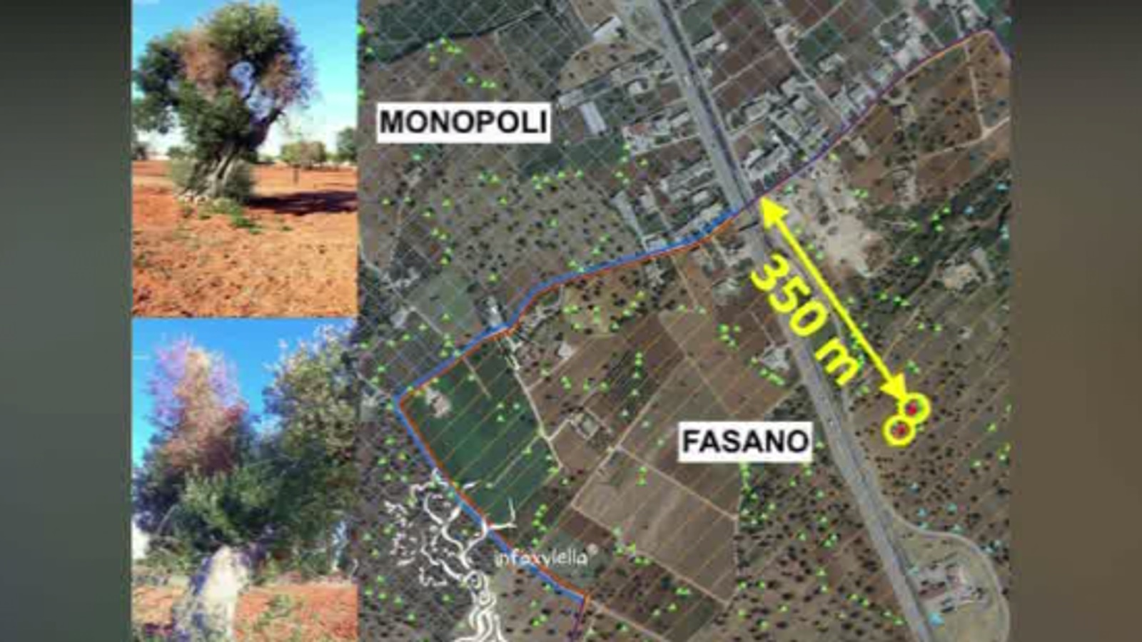 Mappa Xylella Puglia.Xylella Ulivi Infetti Alle Porte Di Monopoli Ambiente Tgr Puglia